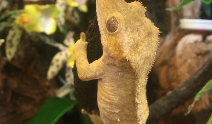 Custard- crested gecko