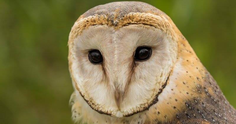 Autumn- African barn owl