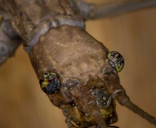 Bud winged stick insect