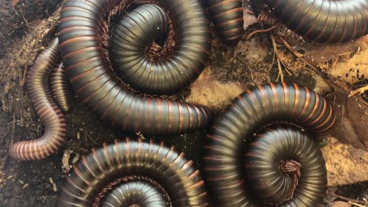 African black train millipede - Milton, Holly & more! (Archispirostreptus gigas)