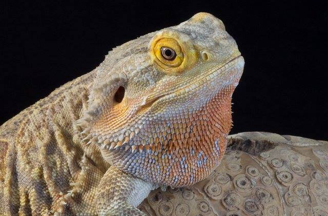Mushu- bearded dragon