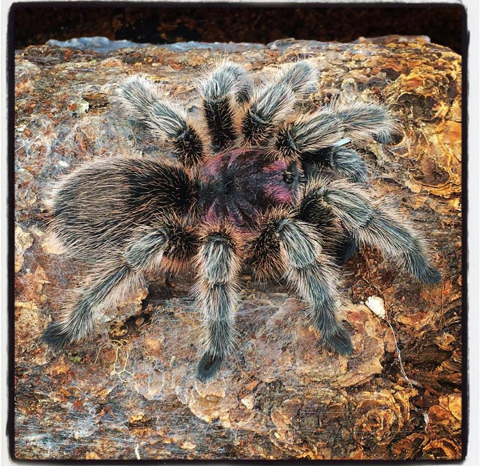 Shelob- Chilean rose tarantula