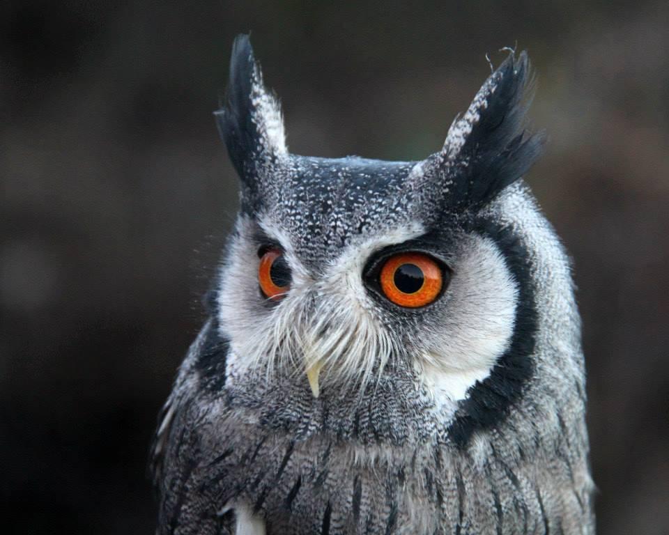 Pigwidegon- Southern white faced owl by Jennifer Horn