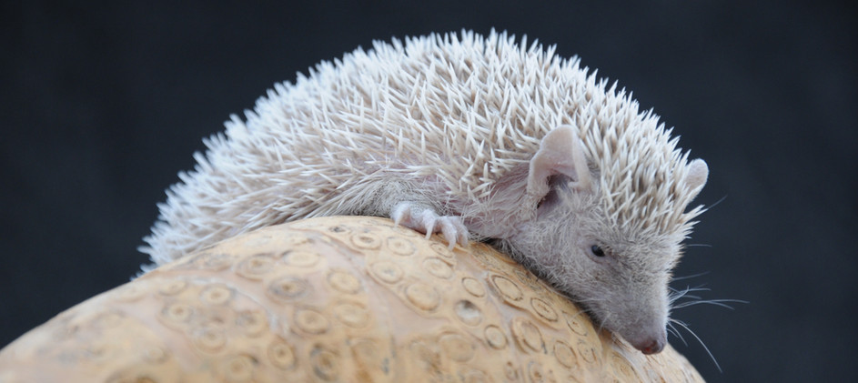 Penny - Female lesser hedgehog tenrec (Echinops telfairi)