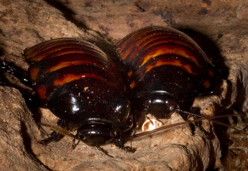 Cid and Nancy- Madagascan hissing cockroaches