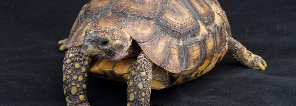 Sixpence- Western hinge-back tortoise