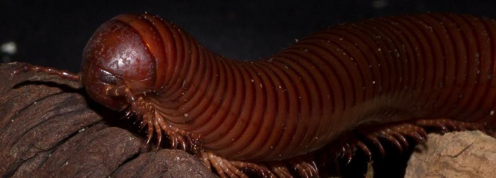 chocolate millipede