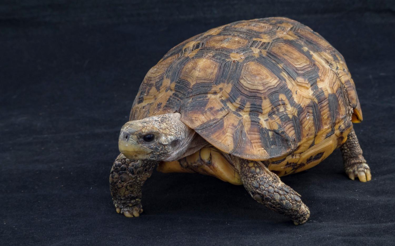 Baileys- Western hinge-back tortoise