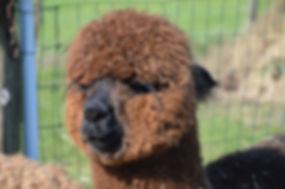 Alpaca Pachmana
