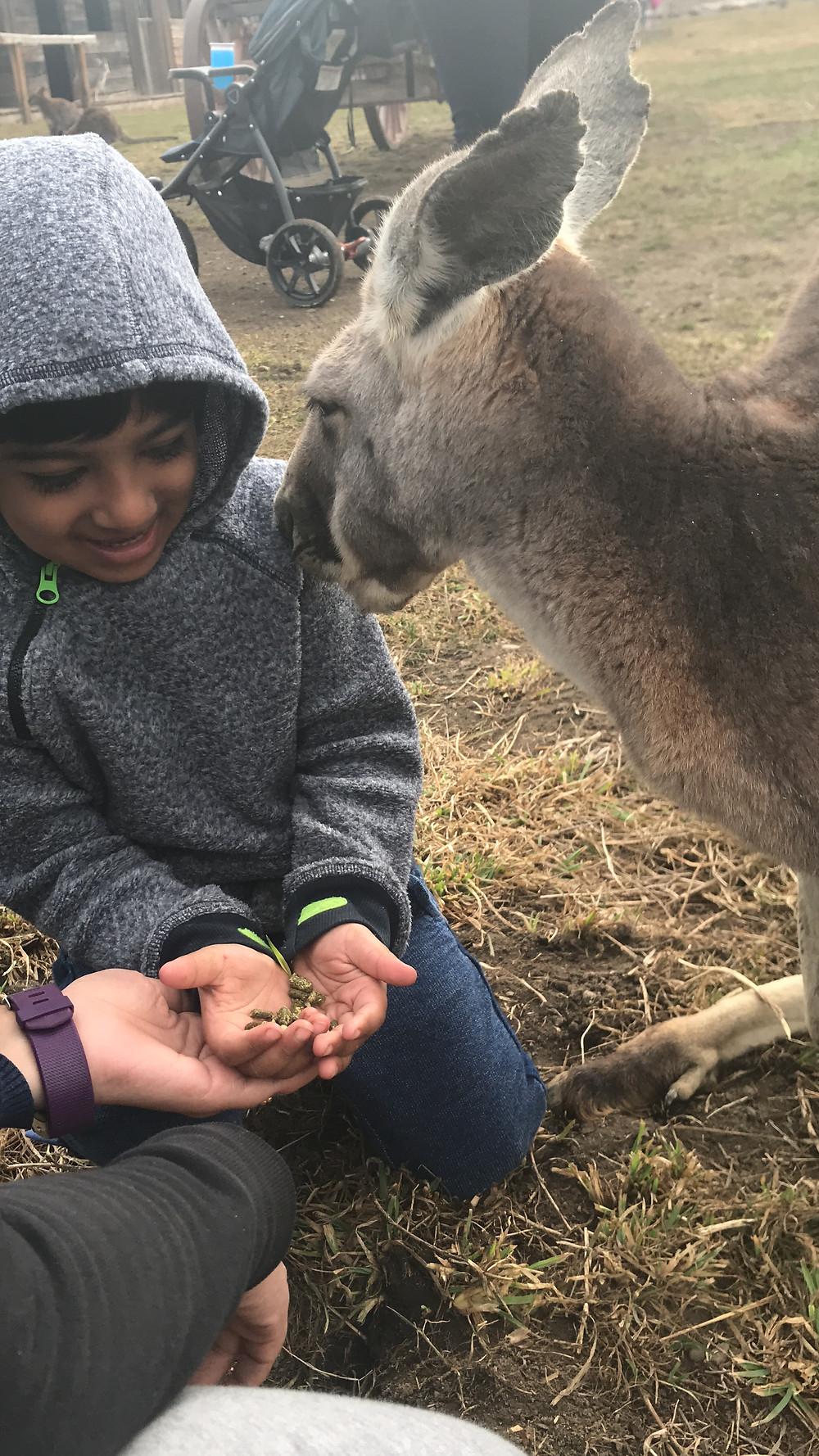 Adhvai feeding a kangaroo in kangaroo form, kelowna, Bc, Canada