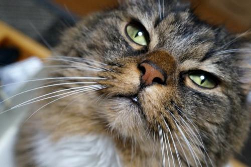 猫の桃之助
