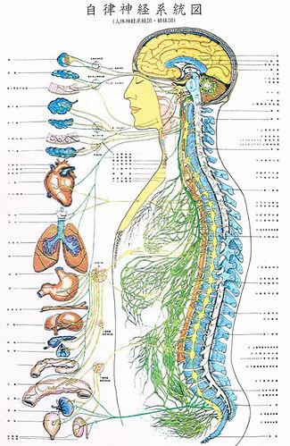 自律神経図.jpg