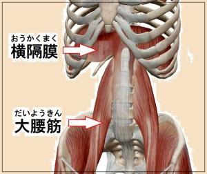 呼吸の筋肉