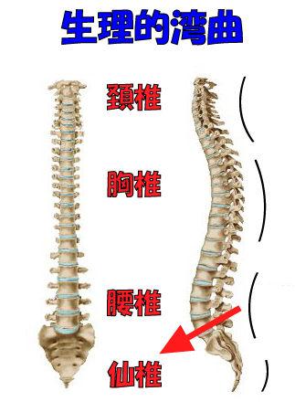 脊柱の生理的湾曲