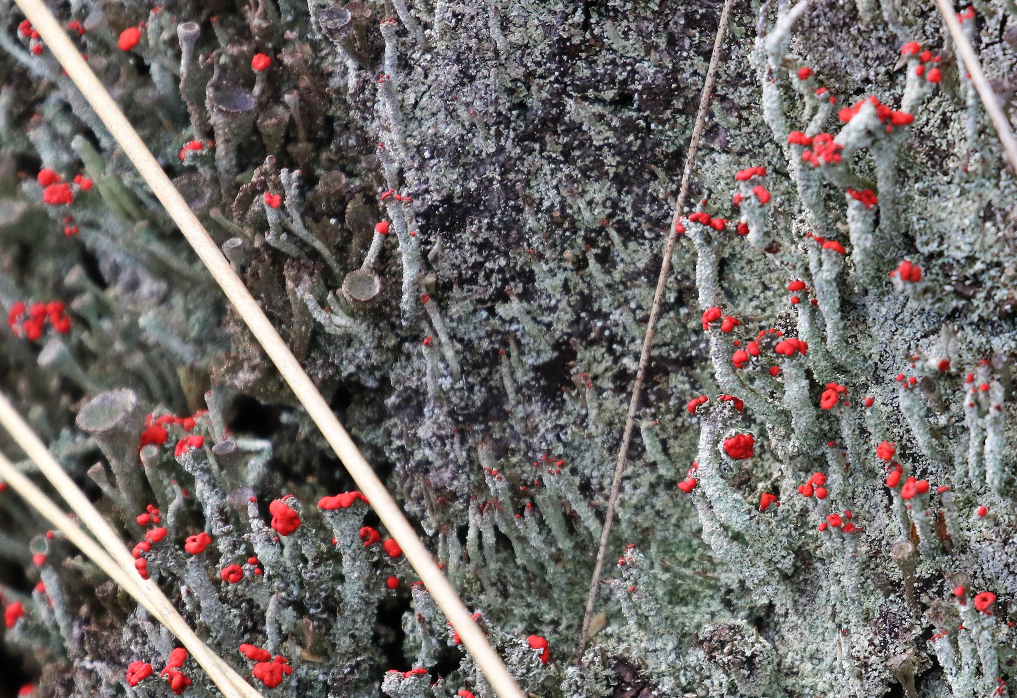 Rode Heidelucifers