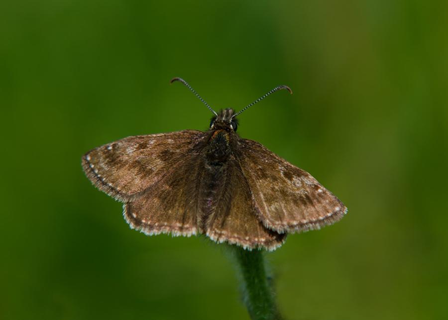 Bruin Dikkopje vlinderexcursie