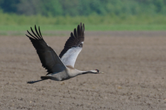 kraanvogel1.png