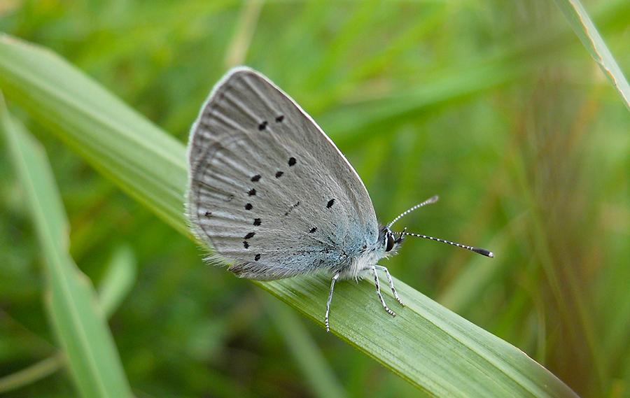 dwergblauwtje1