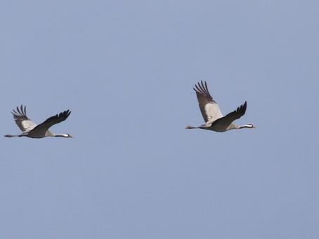 Kraanvogels in Drenthe: doelsoort gezien en veel bonus op de koop toe!