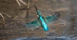 Ijsvogel 1