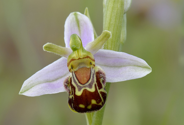 Bijenorchis_DSC2943-MBa