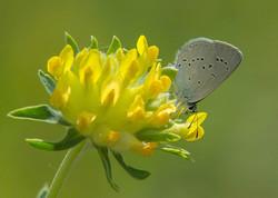 Dwergblauwtje_vlinderexcursie