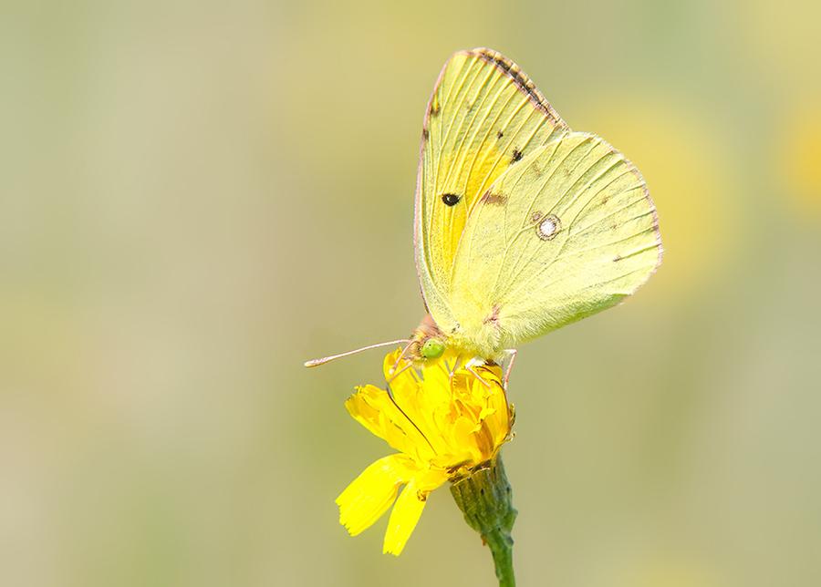 Oranje Luzernevlinder vlinderexcursie