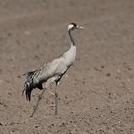 kraanvogel3x.png