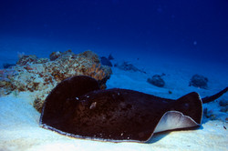 Sting ray on the move