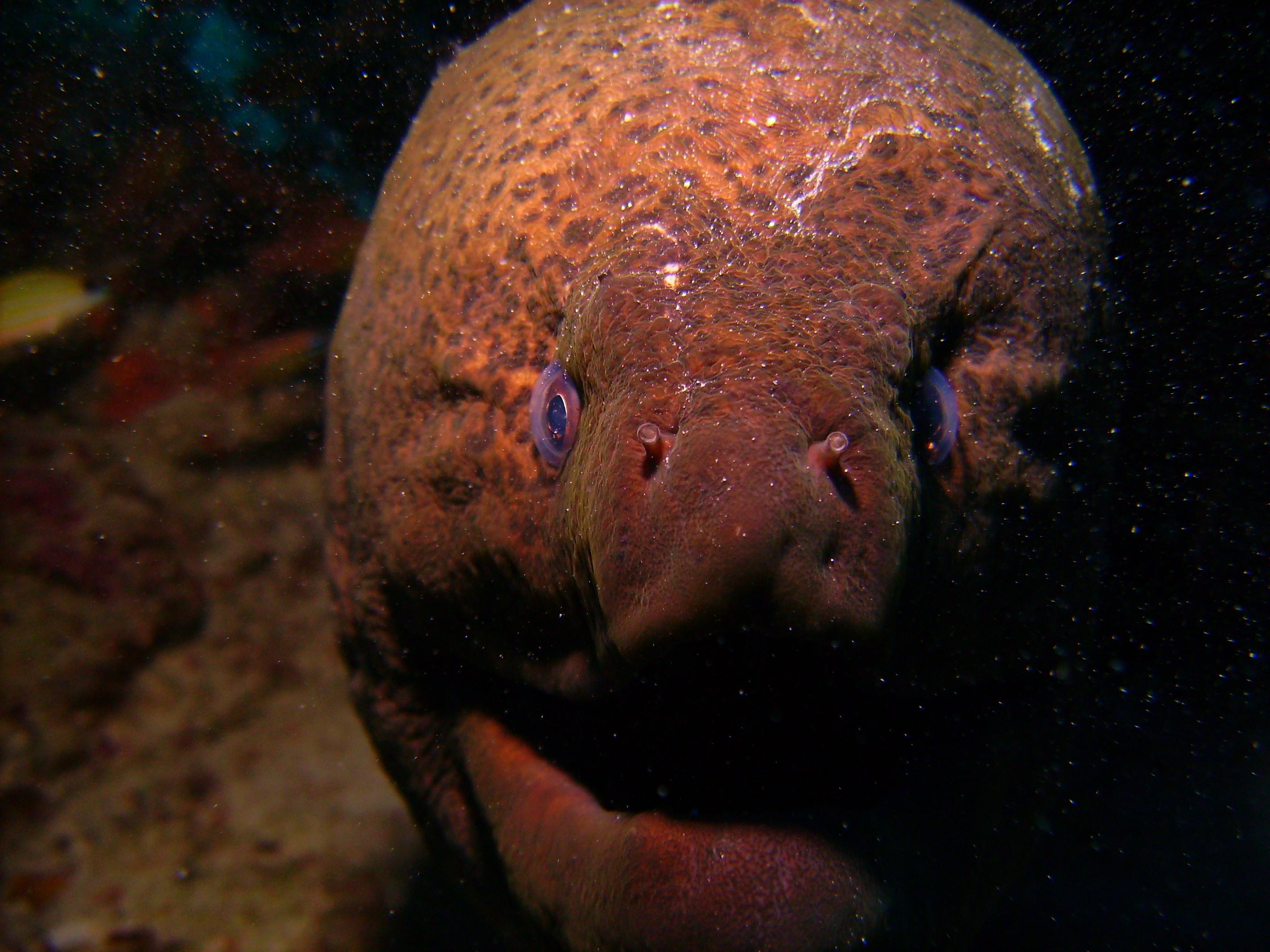 Javaneese morray eel
