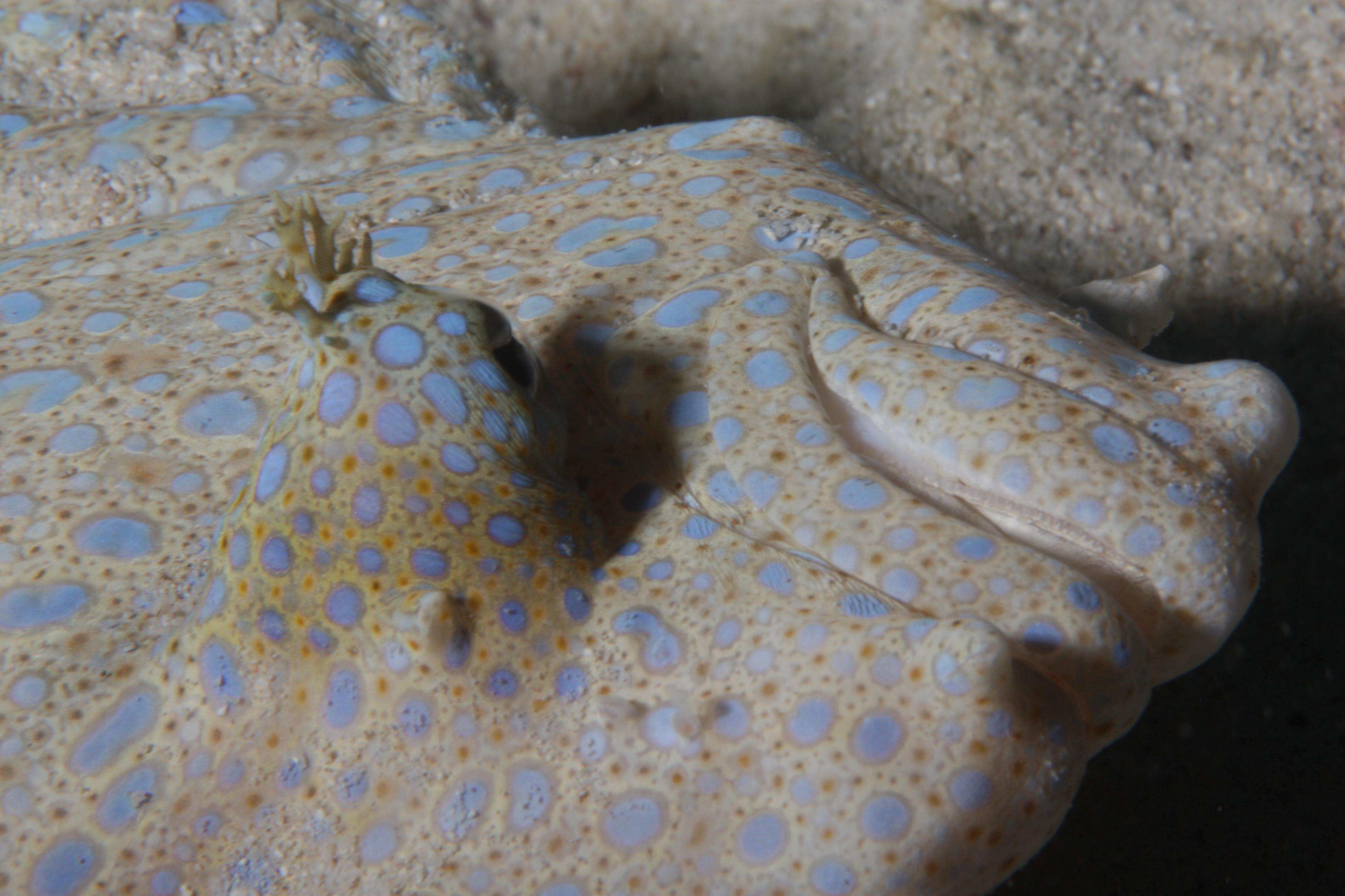 Sole fish Macro