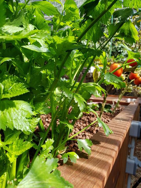 Celeri and Tomato Aquaponics