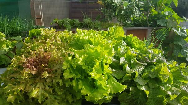 Super healthy lettuces in Aquaponics