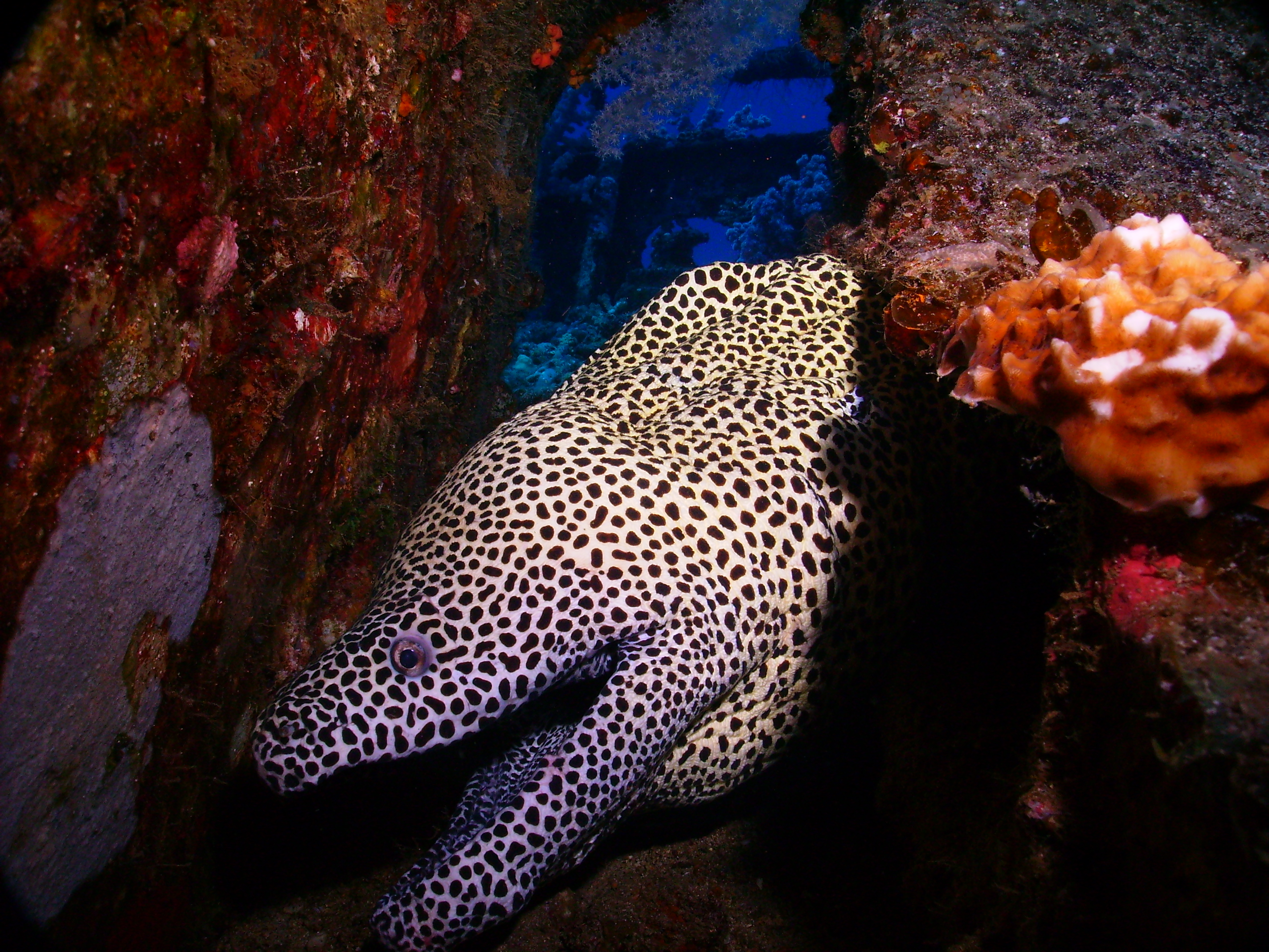Leopard murray, Murene leopard.JPG