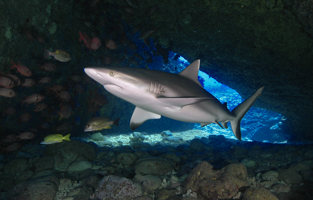 shark-diving-mauritius.jpg