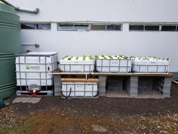 Aquaponics IBC system