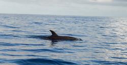 Dolphins Mauritius