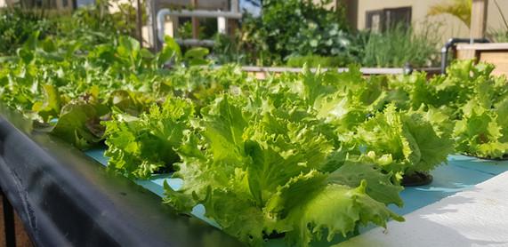 Lettuce in Raft