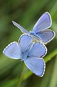 2 purple butterflies.png