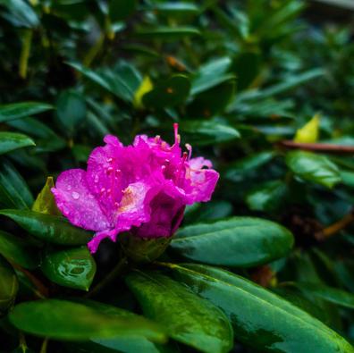 Wet Rhododendron.jpg