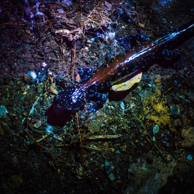 Salamander in WNC
