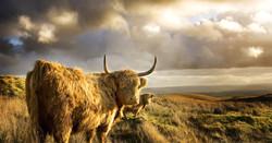 arran cows