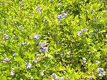 Blueberry3.5.jpg