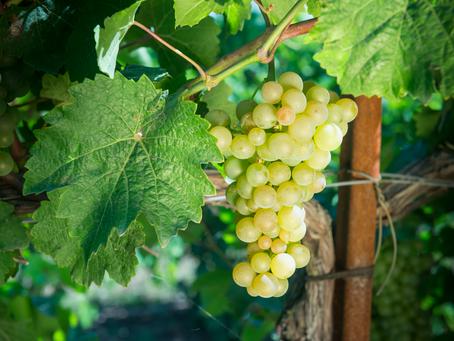 Агрофирма «Южная» собрала в 2020 году более 68 тыс. тонн винограда.
