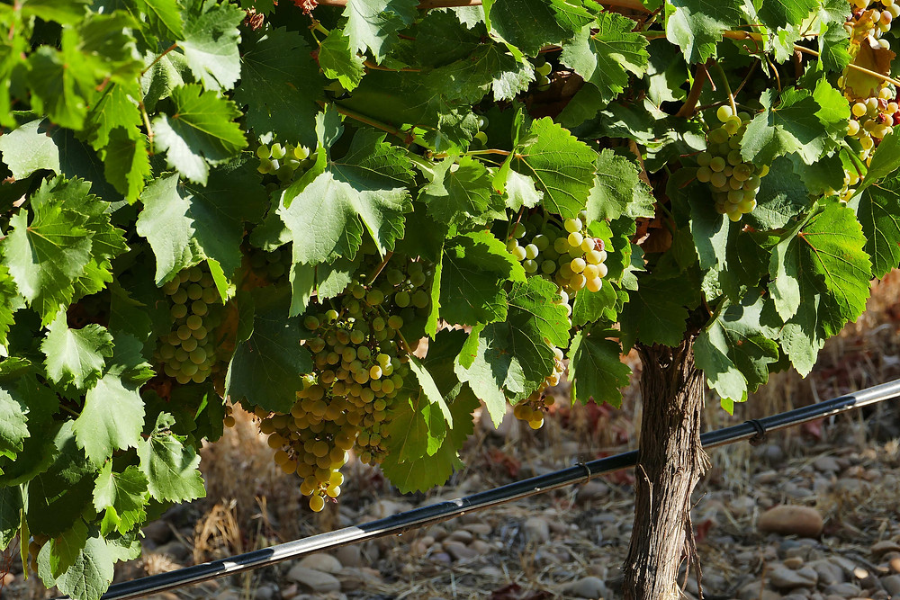Лозы винограда Вердехо