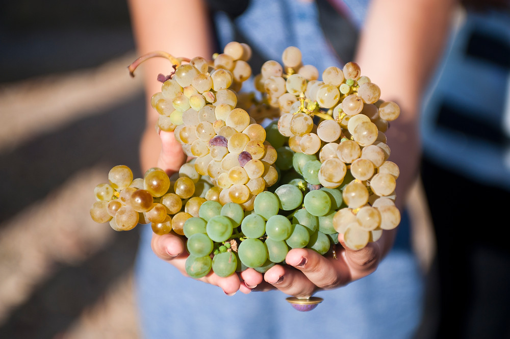 Белый виноград Руэды