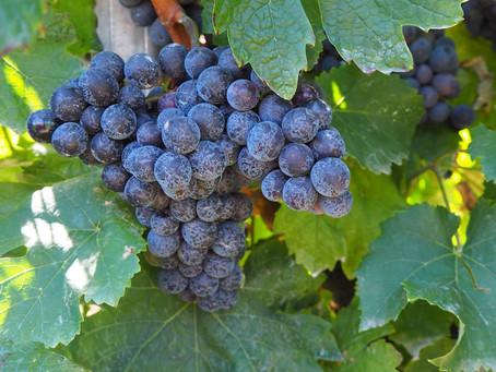 Винодельня Юбилейная. Часть 2. Вина, оценки и рекомендации.