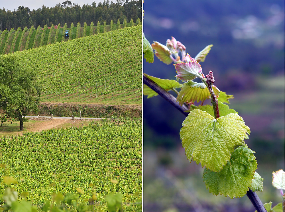 Виноградники Винью Верде
