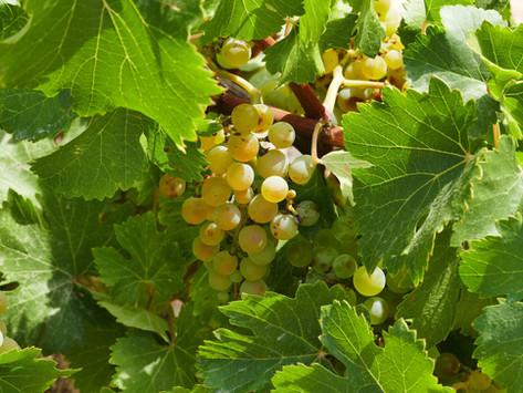 Роскачество прогнозирует увеличение цен на виноград не менее чем на 30%.