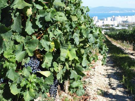 Кубань на треть увеличила экспорт вина с начала 2021 года!